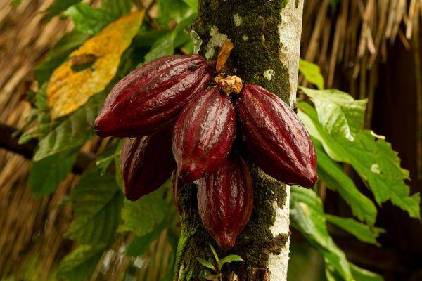 kakaodentro