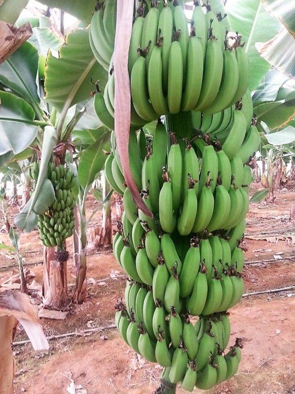 bananes-kritis-anoigma