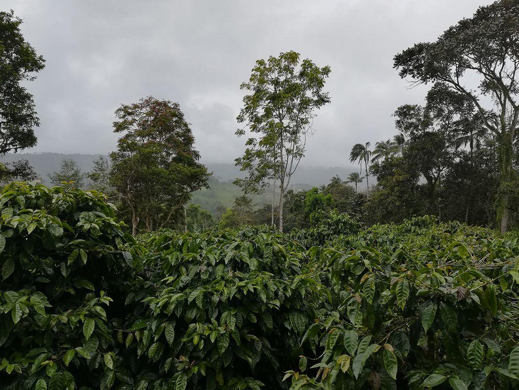 SambaCafe_Ecuador